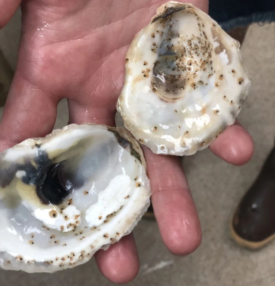 Oyster larvae cemented to oyster shell